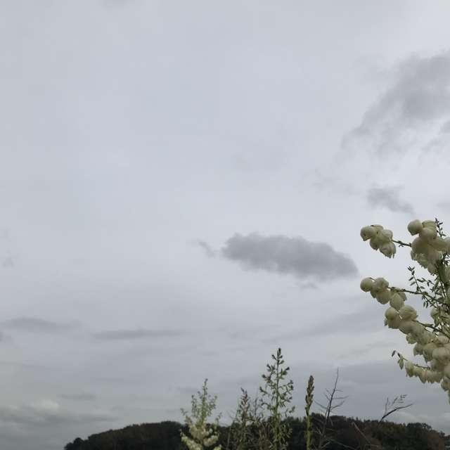 アツバキミガヨラン