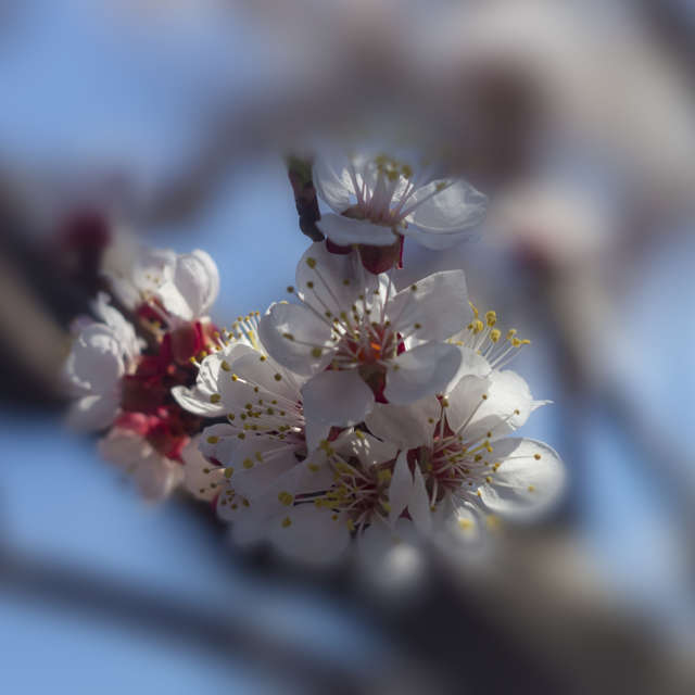 When the apricot bloomed ...