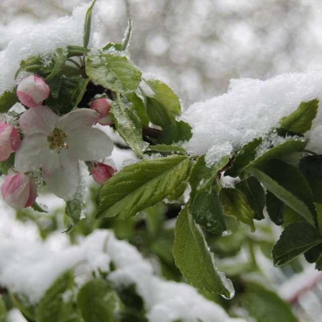 цветки яблони под белым снегом