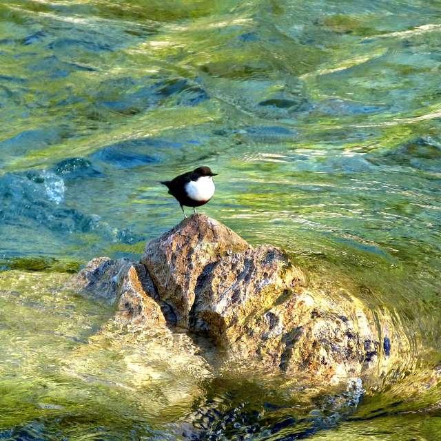 Wasseramsel- hunting dipper