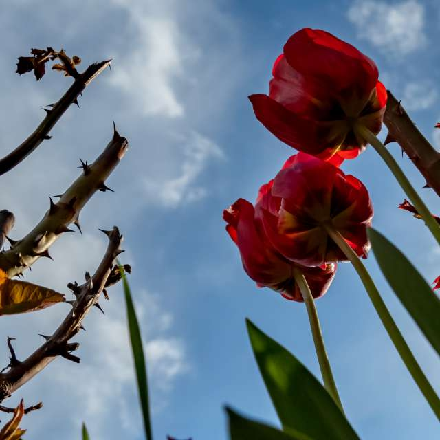 Thorns and tulips