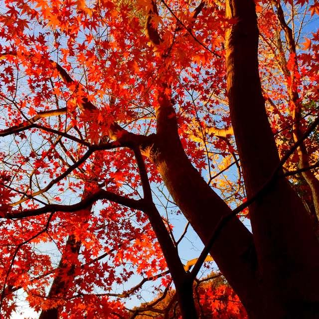 深緋に染まる紅葉