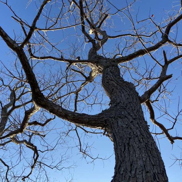 冬の木を下から見上げるのが好き