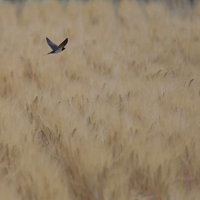 麦畑を飛び回るツバメ