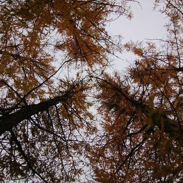 Lehtikuusi - Larix - Larch