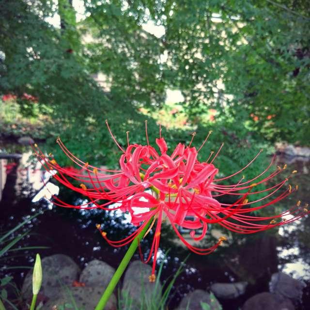Japanese flower of the dead