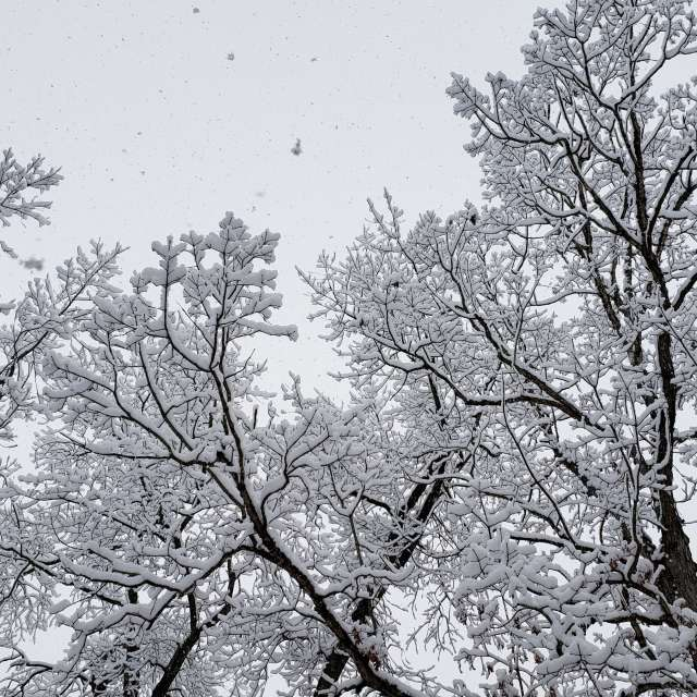 snowfall on trees
