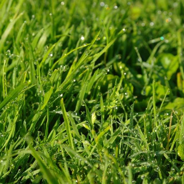 Роса утром на траве