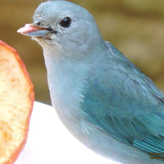 Sanhaçu-azul, Thraupis sayaca