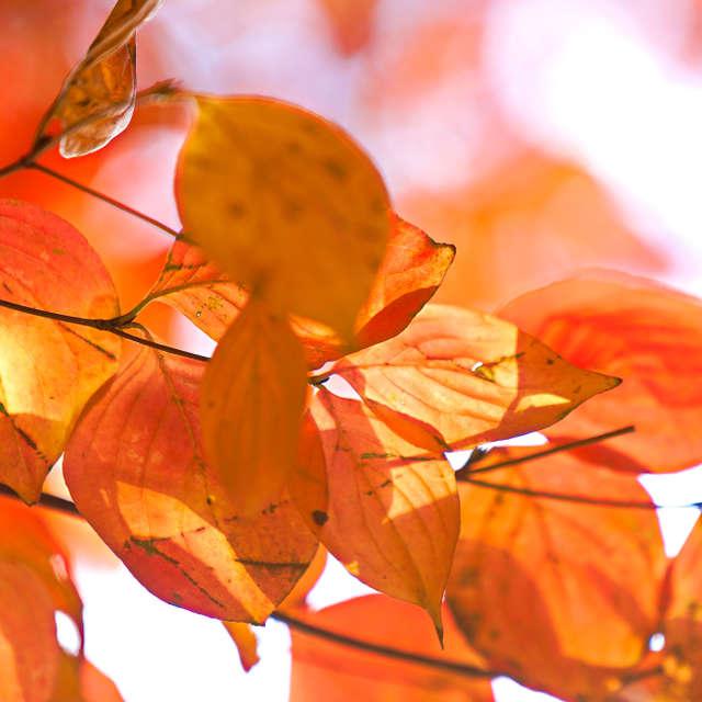 オレンジ色の葉