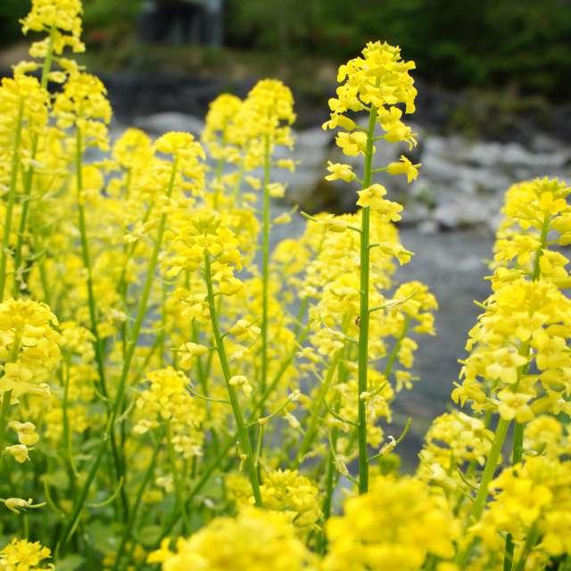 イヌナズナの花満開