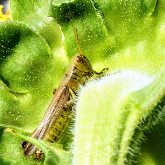 Grasshopper on Back of Flower