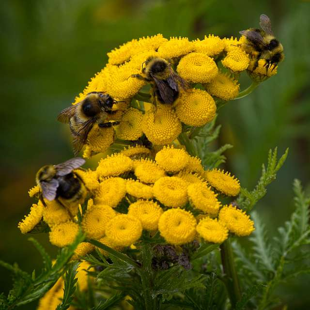 Bee Buffet, Fraser Valley, BC
