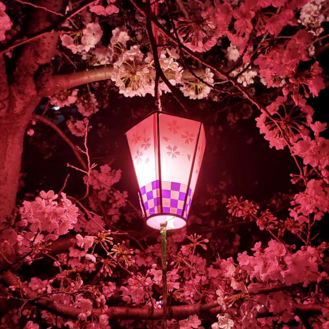 岸和田城の夜桜