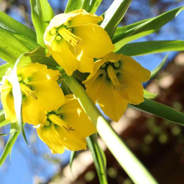 Kaiserkrone gelb
