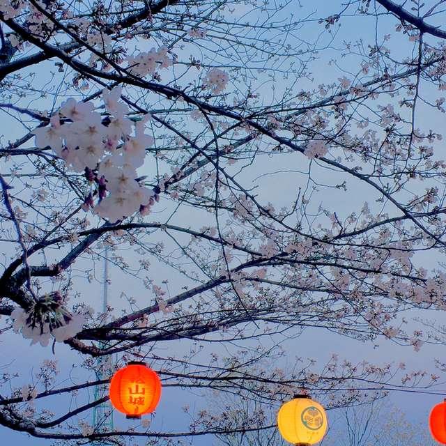 桜と赤提灯