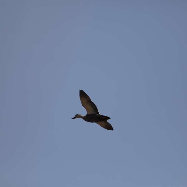 大空を飛ぶカルガモ