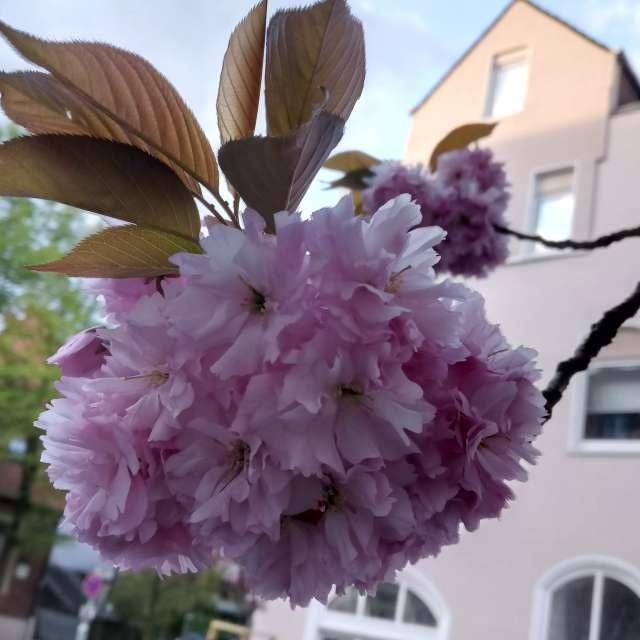 Kirschblüte Schulstraße