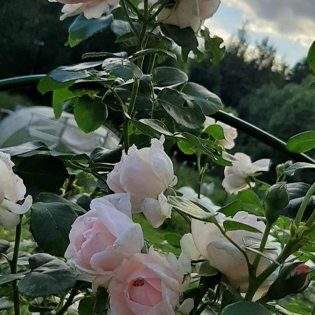 My roses Amazing flowers