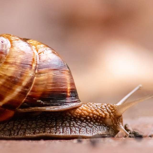 Big striped grapevine snail