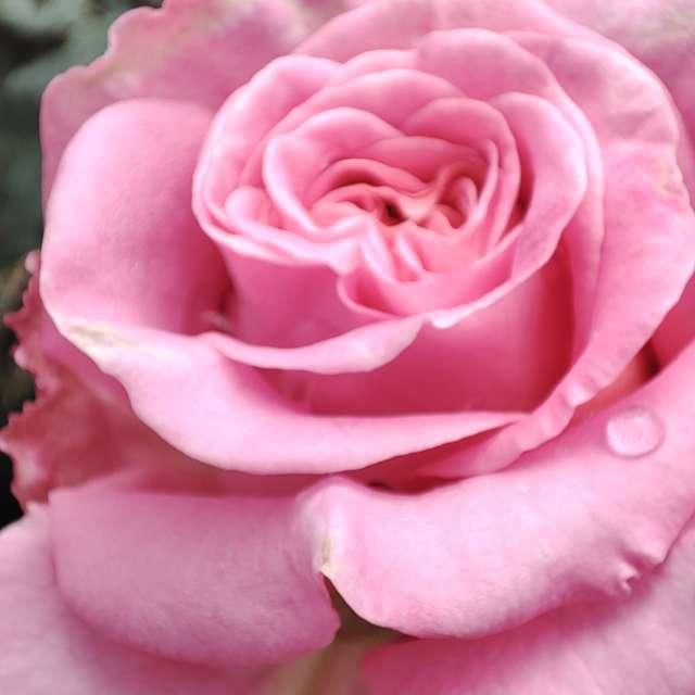 朝露に濡れた薔薇