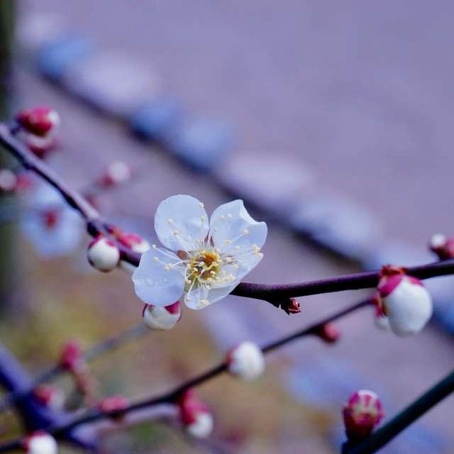 梅の花一輪