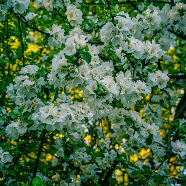 blossom aple tree