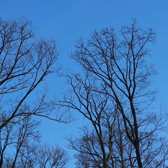 Blue sky and dark trees