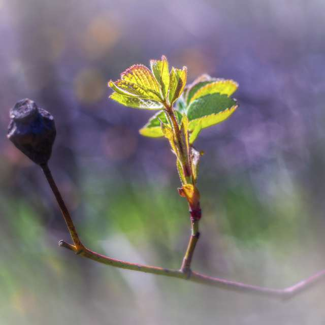 Spring Awakening of the Rose .