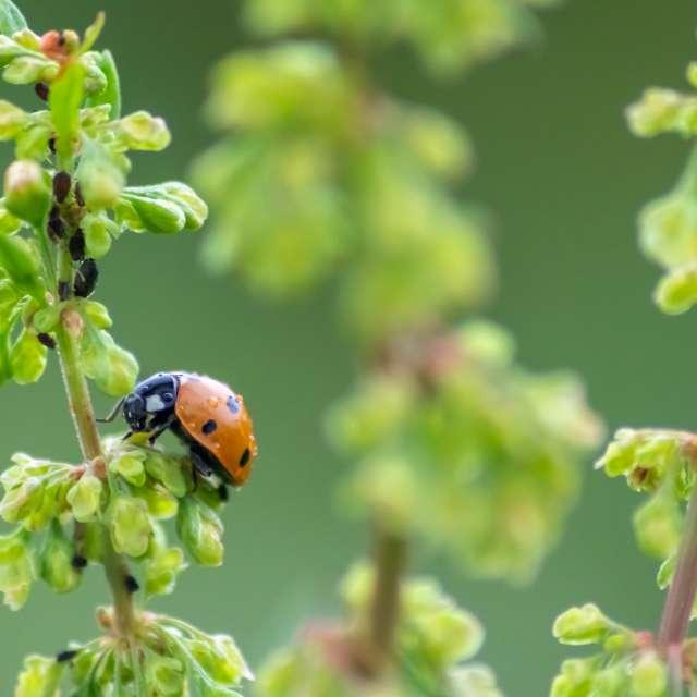 Louse hunting ladybug