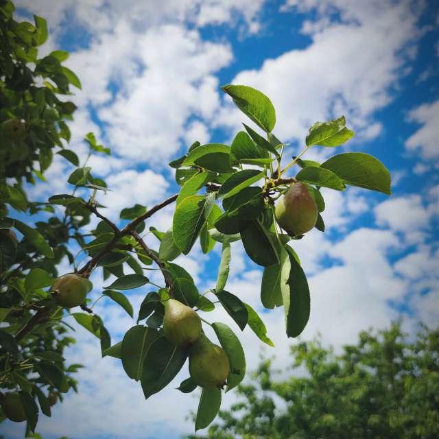 Pear tree in Germany
