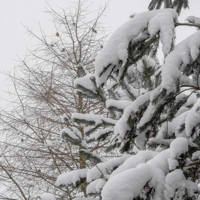 Вид с окна зимой. Снег на елке