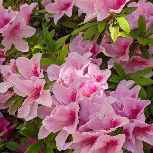 淡いピンクと濃いピンクもまた美しや