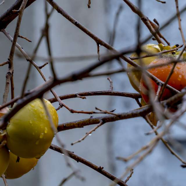 The branch of persimmon