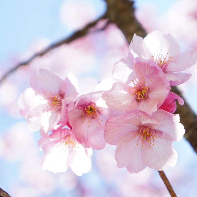 桜満開の春