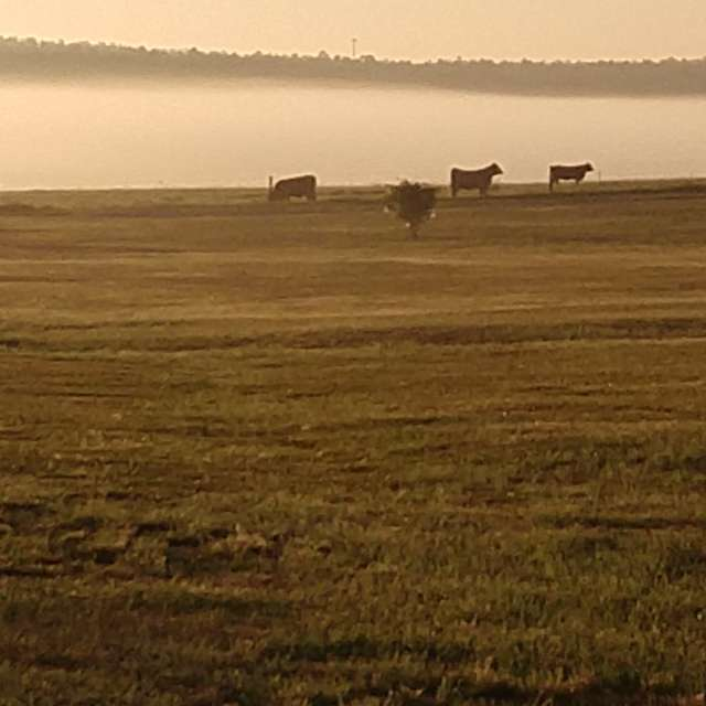 Cows in our mist
