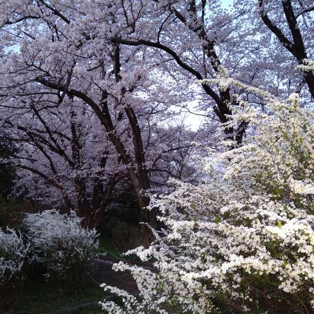 大森城址 桜