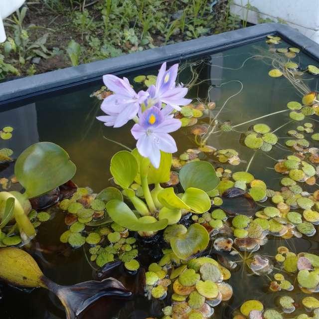 メダカの水槽のホテイソウの花、1日しか見れなません。
