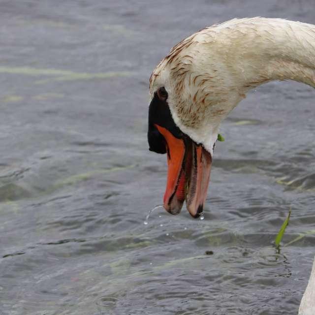 白鳥はお食事中