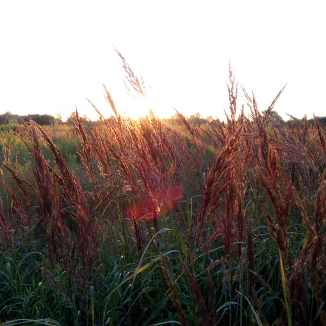 Grass field at sunset