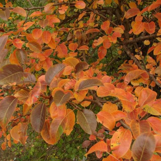 Осенняя красная груша