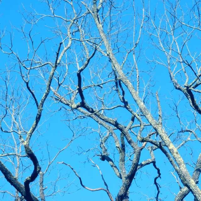 Black Walnut in Winter