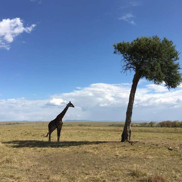 queen giraffe in mara safari