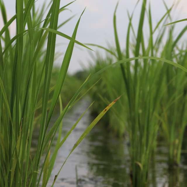 稲の苗が伸びた