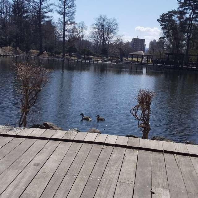 公園の池   鴨の親子