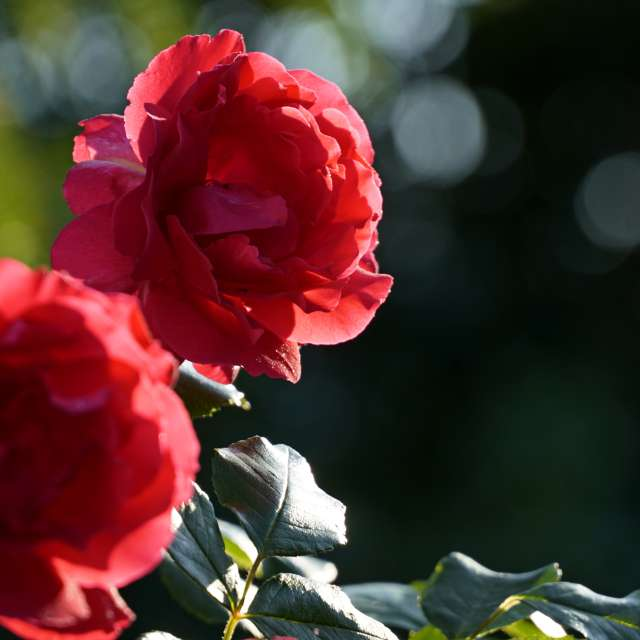 Blooming roses in the sun