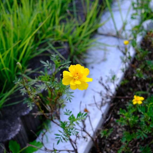 曇り空でも花の色は鮮やか。あきる野市にて