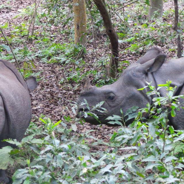 Rhinos in Nepal