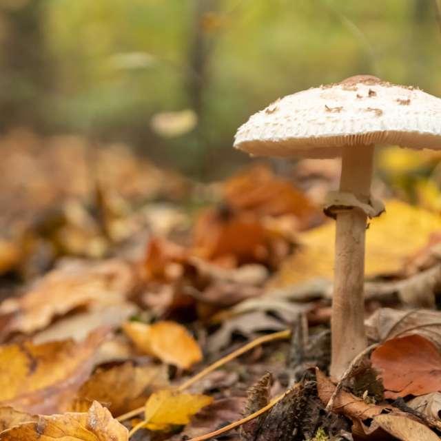 Big parasol mushroom in forest