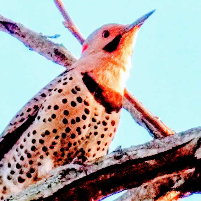 Northern Flicker at Sunset